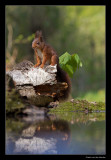0746 red squirrel