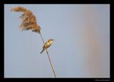 2521 singing sedge warbler