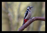 0371 great spotted woodpecker