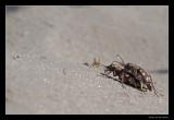 3996 Nothern dune tiger beetles copulating