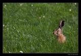 4513 hare