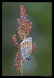 5419 common blue on dock