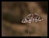 5731 emperor moth
