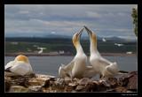5814 gannets on chapel
