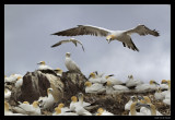 6213 landing gannet on Bass Rock