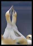 7407 gannets