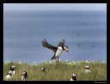 8000 landing puffin