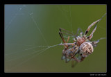1365 spider with prey