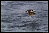 5995 flying puffin