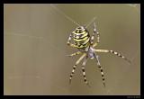 9834 wasp spider