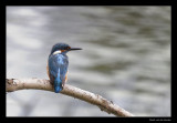 0359 juvenile kingfisher
