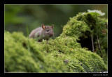 2865 young brown rat