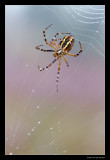 1334 wasp spider weaving a web