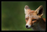 1056 young fox