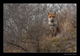 9511 fox