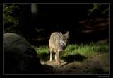 1125 wolf (C)