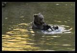 0029 brown bear (C)