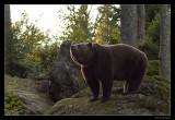 9808 bear (C)