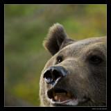 9954 brown bear (C)