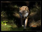 0604 wolf