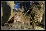 0394 lynx (C)