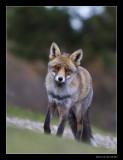 2818 fox