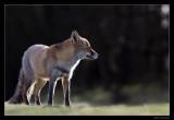 2703 fox