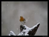 3175 robin in snow