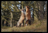 3988 fighting foxes