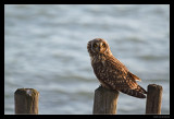 5013 short-eared owl