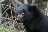 5778 black bear cub