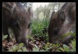 0322 piglets wild boar