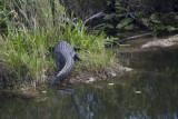 Everglades croc