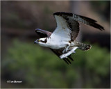 Osprey & Rainbow Trout