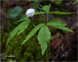 Coptis Trifolia