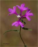 Clarkia pulchella ( elkhorns clarkia)