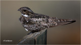Common Nighhawk