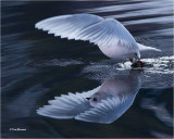 terns__gulls
