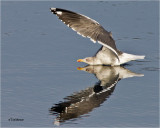 Lesser-Black-backed Gull