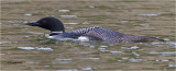 Common Loon stretching his wing