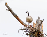 Canda Goose