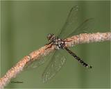 Cailfornia Darner Dragonfly