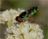 Soldier Fly (bee mimic)