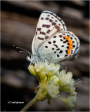 Square Spotted Blue