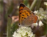 Purplish Copper