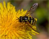 Fly- bee mimic