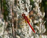 Red-veined Meadowhawk