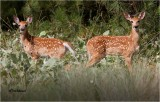 White-tailed Deer  (fawns)