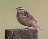 Western Meadowlark  (juvenile)