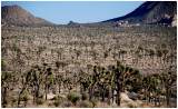 More Joshua trees than you can imagine. So long folks!